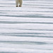polar_bear_andyrouse_polar_bear_SV02247_00055_00107 by wildmanrouse