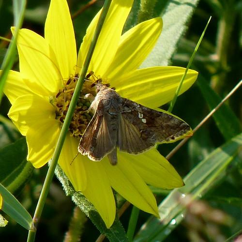 autumn newjersey moth nj insects lepidoptera noctuidae plusiinae capemaypoint capemay arthropoda invertebrate insecta looper capemaypointstatepark noctuoidea argyrogrammatini soybeanlooper chrysodeixisincludens