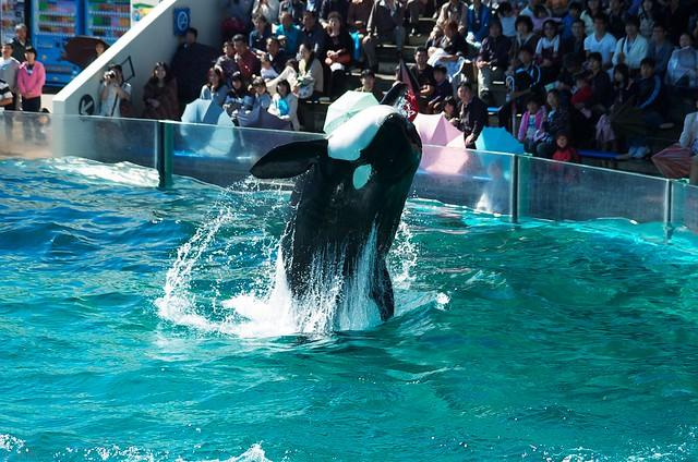 killer whale #18