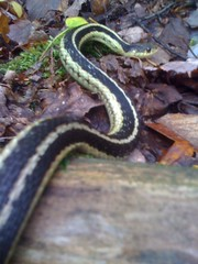 Couleuvre rayée / garter snake