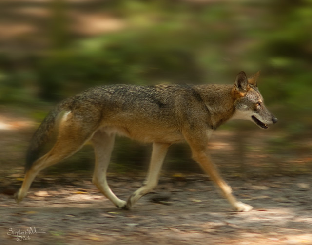 Red Wolf - Tallahassee Museum, FL - 2010