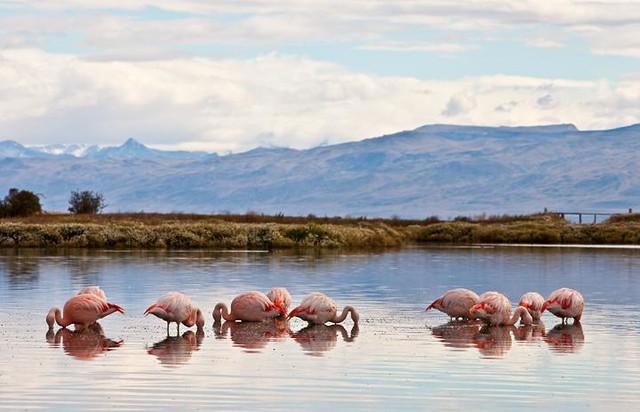 Wild Flamingos in Laguna Nimez, El Calafate, Patagonia, Argentina
