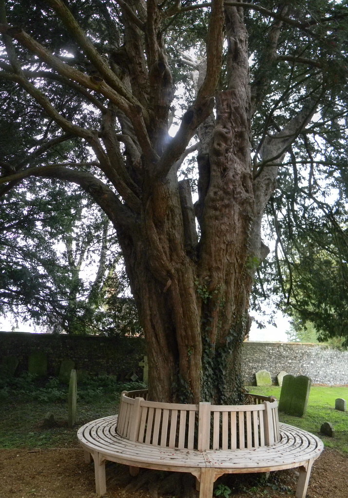 Seat round yew Silchester Mortimer to Aldermaston
