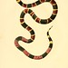 012-Elaps Fulvius-North American herpetology…1842-Joh Edwards Holbrook