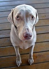 dog breed(1.0), animal(1.0), dog(1.0), pet(1.0), mammal(1.0), weimaraner(1.0),