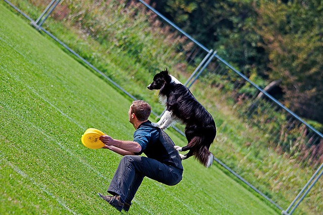 DOG - Disc Dog - Border Collie