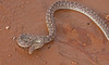"<a href=""http://www.flickr.com/photos/jroldenettel/5105702357/"">Photo of Arizona elegans by Jerry Oldenettel</a>"