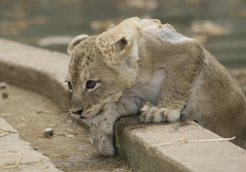 National Zoo's Lion Cubs Take a Swim Test