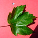 Small photo of Acer rubrum