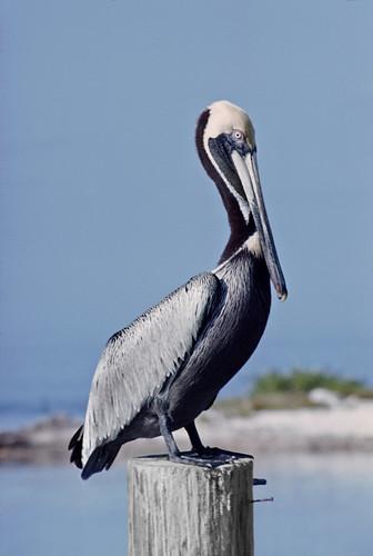kh0831 floridakeys bird florida aquaticbird