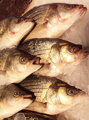 bass(0.0), perch(0.0), cod(0.0), recreational fishing(0.0), red snapper(0.0), tilefish(0.0), red seabream(0.0), barramundi(0.0), animal(1.0), fish(1.0), fish(1.0), oily fish(1.0), milkfish(1.0),