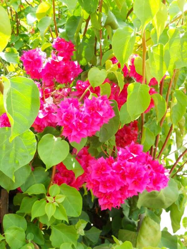 Bougainvillea glabra 'Sanderiana Scarlet O'Hara' v 2