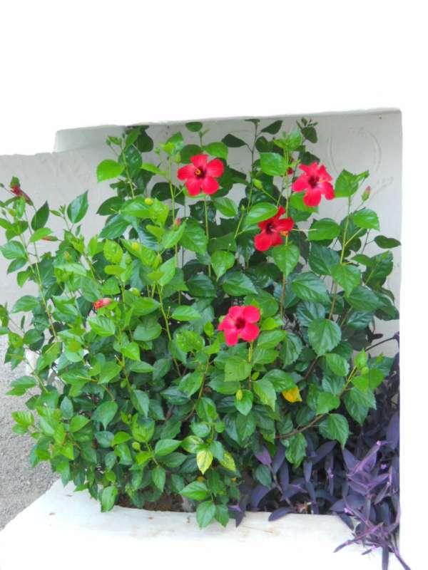 Hibiscus rosa sinensis 'Holiday' v 1