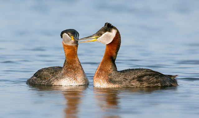 Red necked grebes, Canon EOS 5D MARK III, Sigma 150-600mm f/5-6.3 DG OS HSM   C
