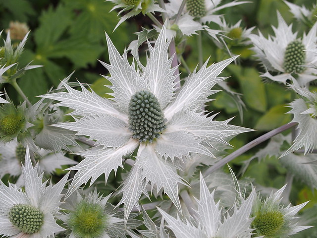 Eryngium giganteum 'Miss Willmott's ghost'