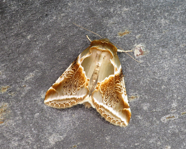 65.009 Buff Arches - Habrosyne pyritoides