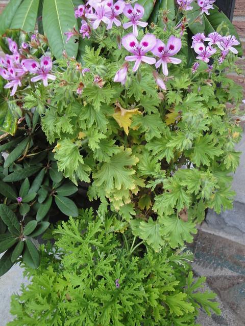 how to grow pelargonium citrosum