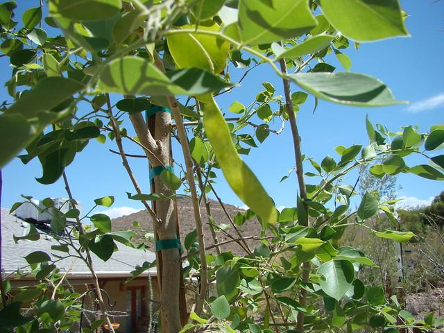 20100629 Sisu Sissoo Indian Rosewood Tucson Tree