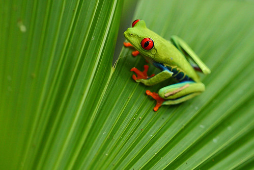 Red-eyed Tree Frog, Tortuguero National Park