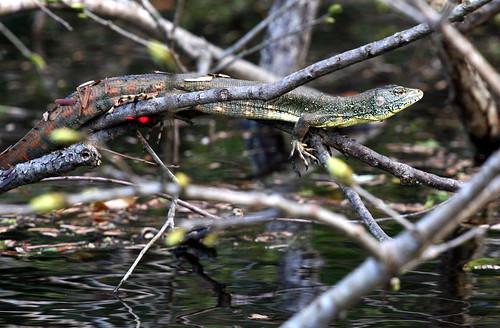 Caiman lizard (Dracaena guianesis)