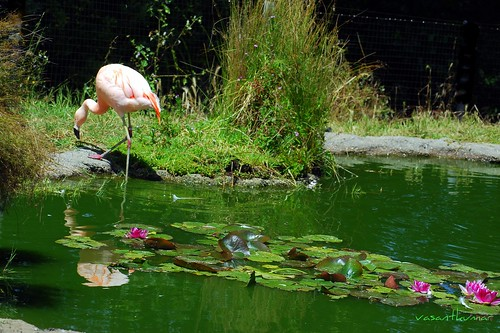 Flamingo, Sanfrancisco Zoo