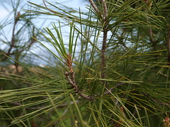 larch, evergreen, branch, leaf, tree, casuarina, flora, green, spruce,