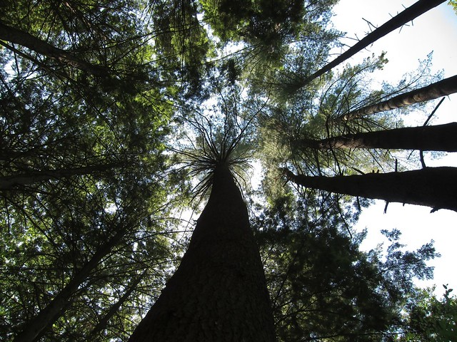 Red Pines from below