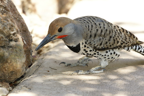 FLICKER (Woodpecker)