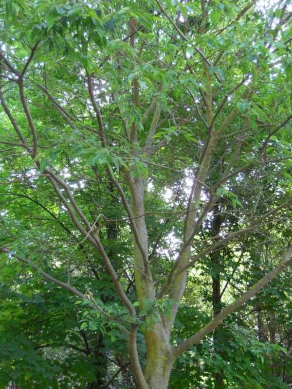 Celtis australis copa v 1