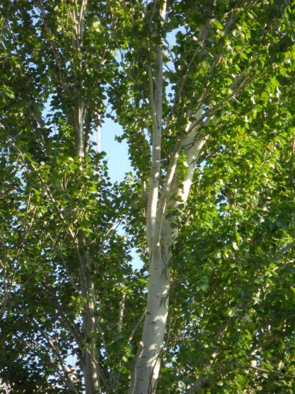 Populus alba 'Pyramidalis' v 2