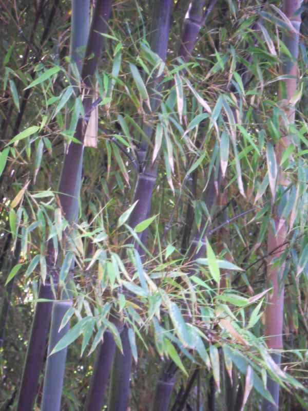 Phyllostachys nigra 'Munro' v 5