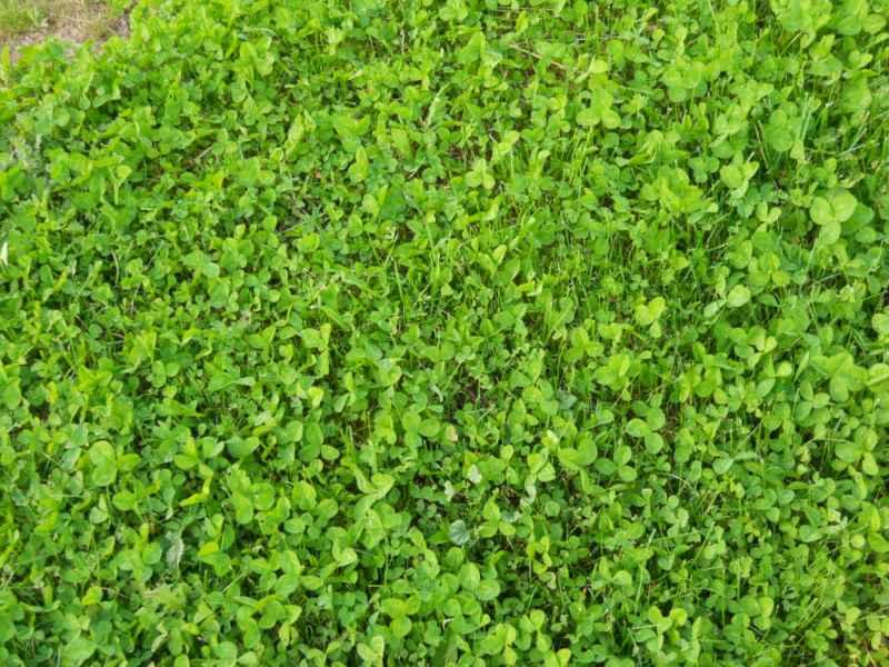 Trifolium repens césped 3