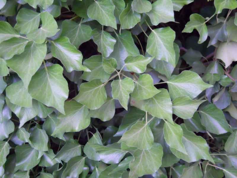 Hedera helix 'Arborescens' 4