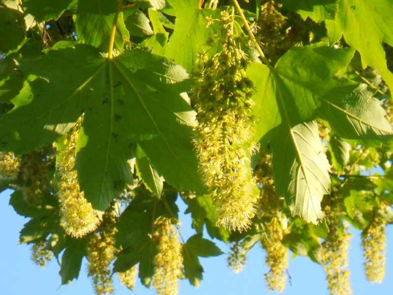 Acer platanoides.. flor 3