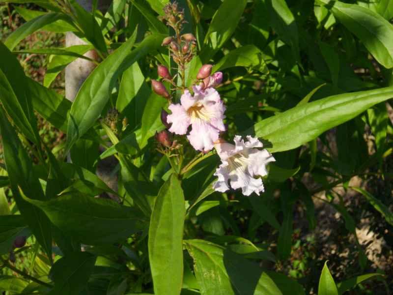 Chitalpa tashkentensis 'Summer Bells' 3
