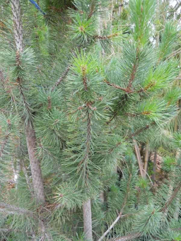 Pinus nigra v 2