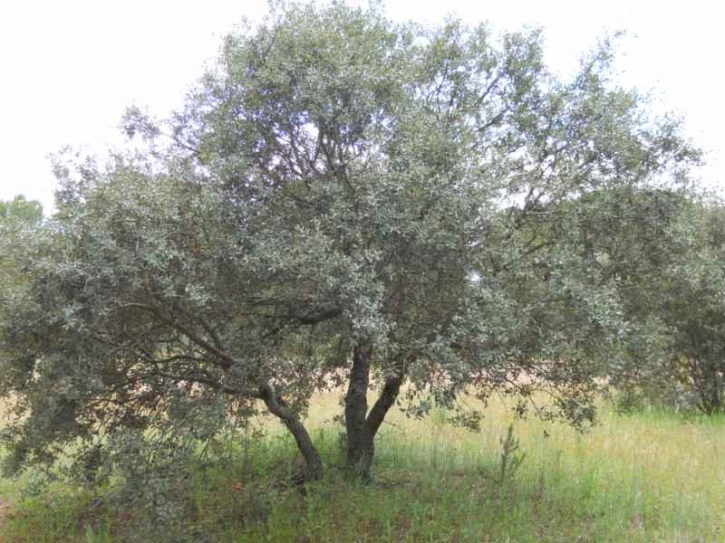 Quercus ilex 1