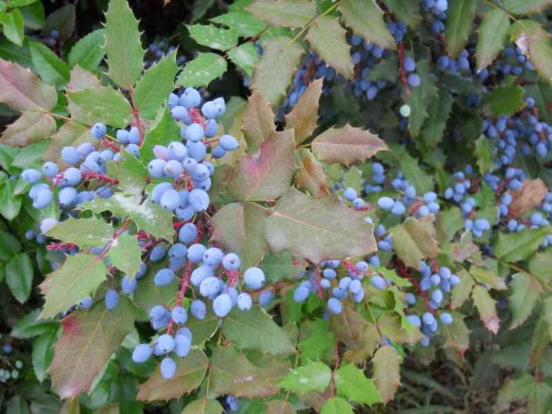 Mahonia japonica 3