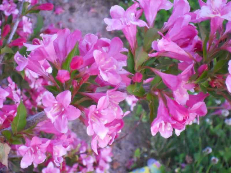 Weigela florida 'Purpurea' 1