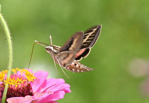 moth northcarolina lepidoptera sphingidae macroglossinae hyleslineata picnik richmondcounty whitelinedsphinx hyles sphinxmoths bombycoidea superaplus aplusphoto macroglossini