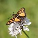 Small photo of Abantis bicolor (Hesperiidae)
