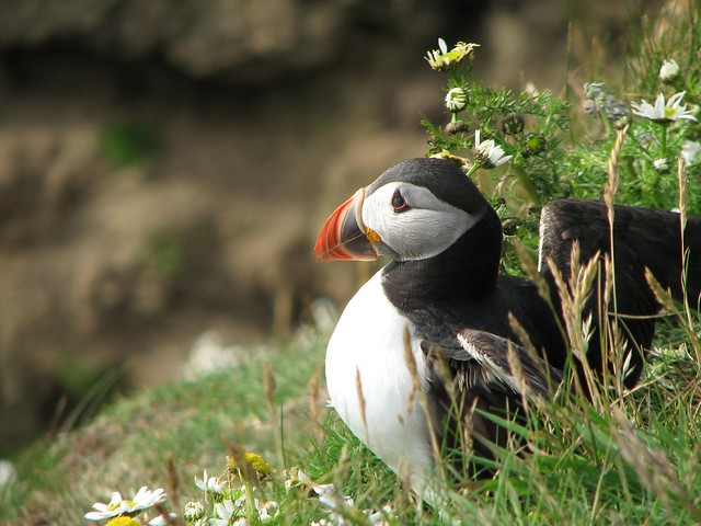 Puffin in the Shetland Islands - Flickr CC stincodiporco