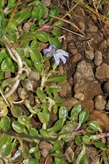 Lobelia galpinii (Lobeliaceae)