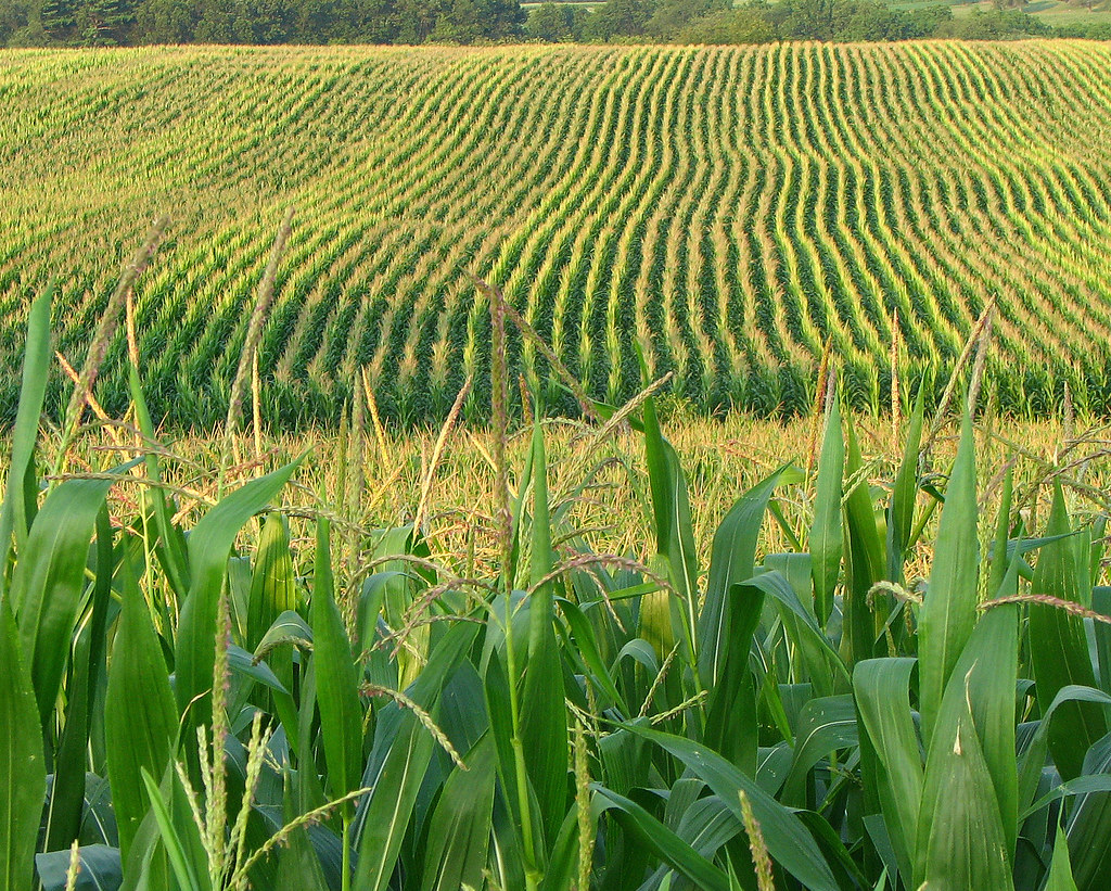 Corn field...or content farm? You decide!