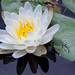 American White Waterlily - Photo (c) Ken-ichi Ueda, some rights reserved (CC BY-NC-SA)