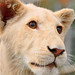 Makumba the young and cute white lion