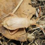 fűrészesvállú karimáspoloska - Coriomeris denticulatus