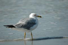 Sea Gull-0621
