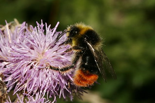Red Tailed bee Male 39822