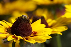 Photograph: Little bee, big flower